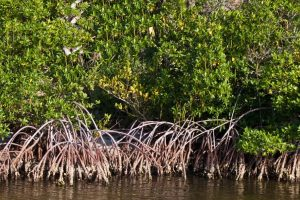Mangroves for flood defense